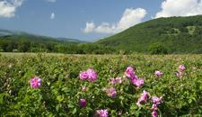 Ajurvédske prírodné masážne a pleťové oleje - Bulharská ruža